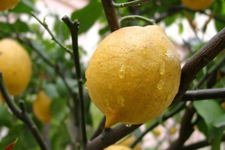 Удивительный феномен лимона